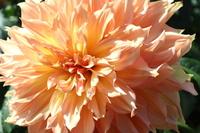 Orange dahlia Stock photo [4956132] Dahlia
