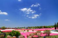 Shiba Sakura Bloom Park Stock photo [5051776] Hachioji