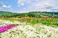 Early Spring Shiba Sakura Yamakoshi Rice Terrace Village Stock photo [5053571] Early