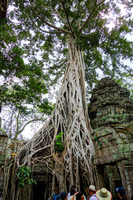 Cambodia, a large tree at the Ta Pro-ru site Stock photo [5055086] Cambodia