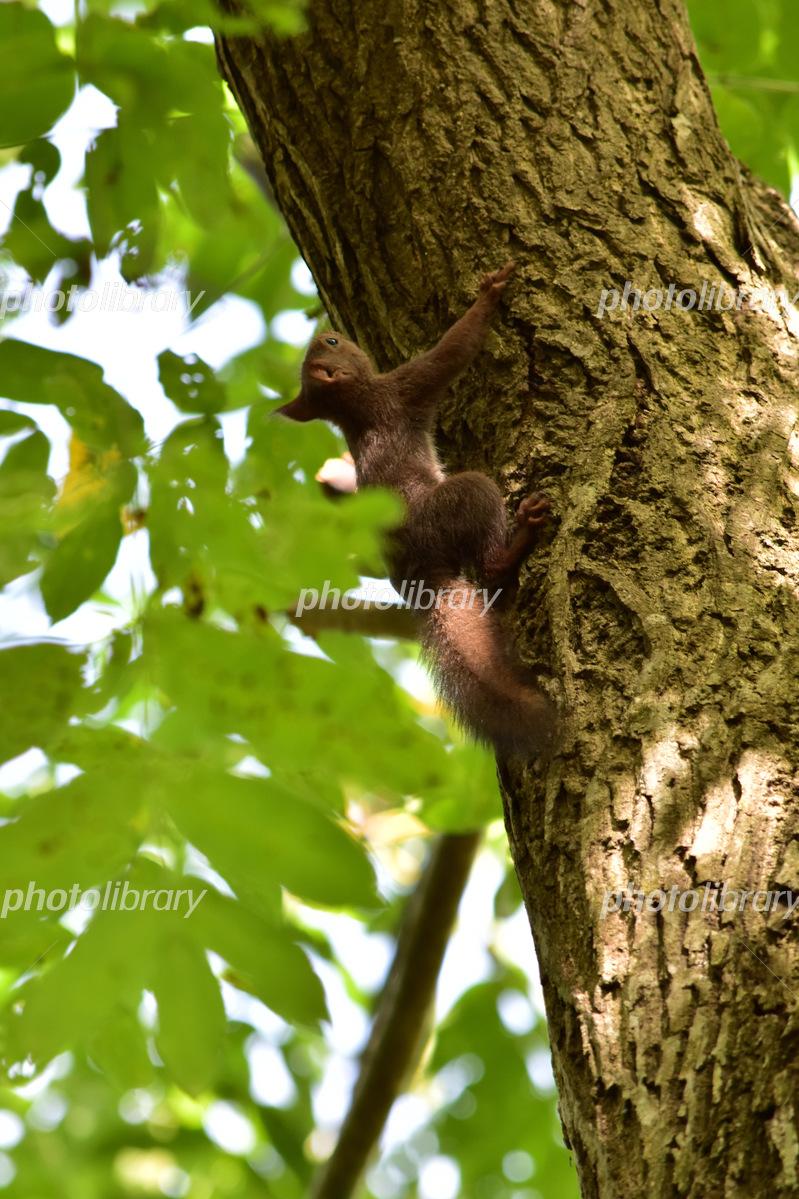 上を向いて木に登る子リス 写真素材 5330877 フォトライブラリー