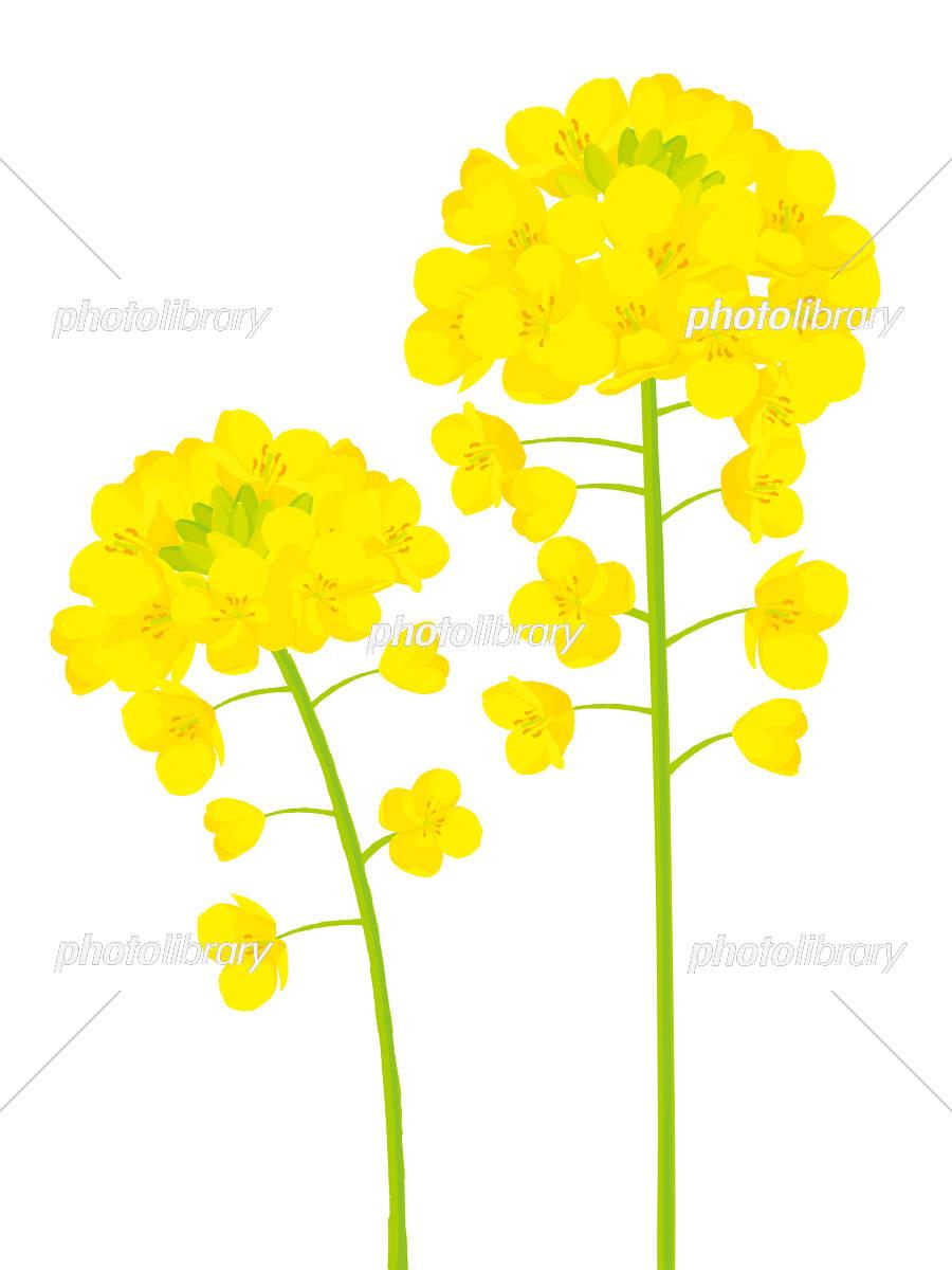 菜の花 カットイラスト イラスト素材 5399794 フォトライブラリー
