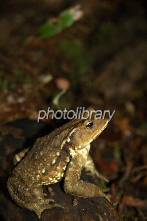 ニホンヒキガエルの画像 p1_19