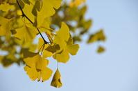 Ginkgo biloba Stock photo [188227] Autumn