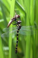 Emergence of Anotogaster sieboldii Stock photo [189280] Dragonfly