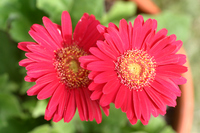 Gerbera Stock photo [203443] Compositae