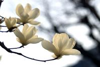Magnolia Stock photo [230265] Magnolia