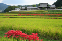 Amaryllis bloom Asuka village of Stock photo [232623] Plant