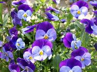 Viola (Purple) Stock photo [235754] Flower
