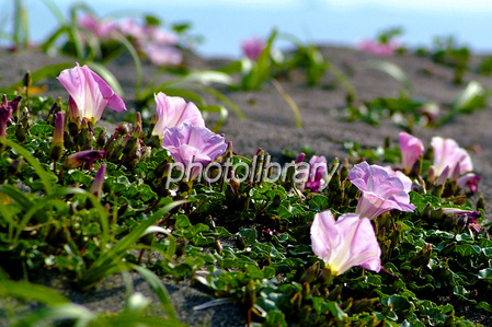 Shonan sea bells Photo