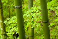 Bamboo and maple Stock photo [277446] Autumn