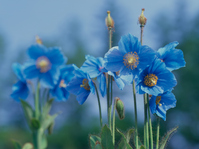 Himalayan blue poppy Stock photo [281556] Himalayas