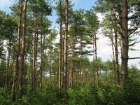 Coniferous forest Stock photo [581308] Coniferous