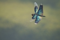 Dragonfly flying Stock photo [583422] Dragonfly