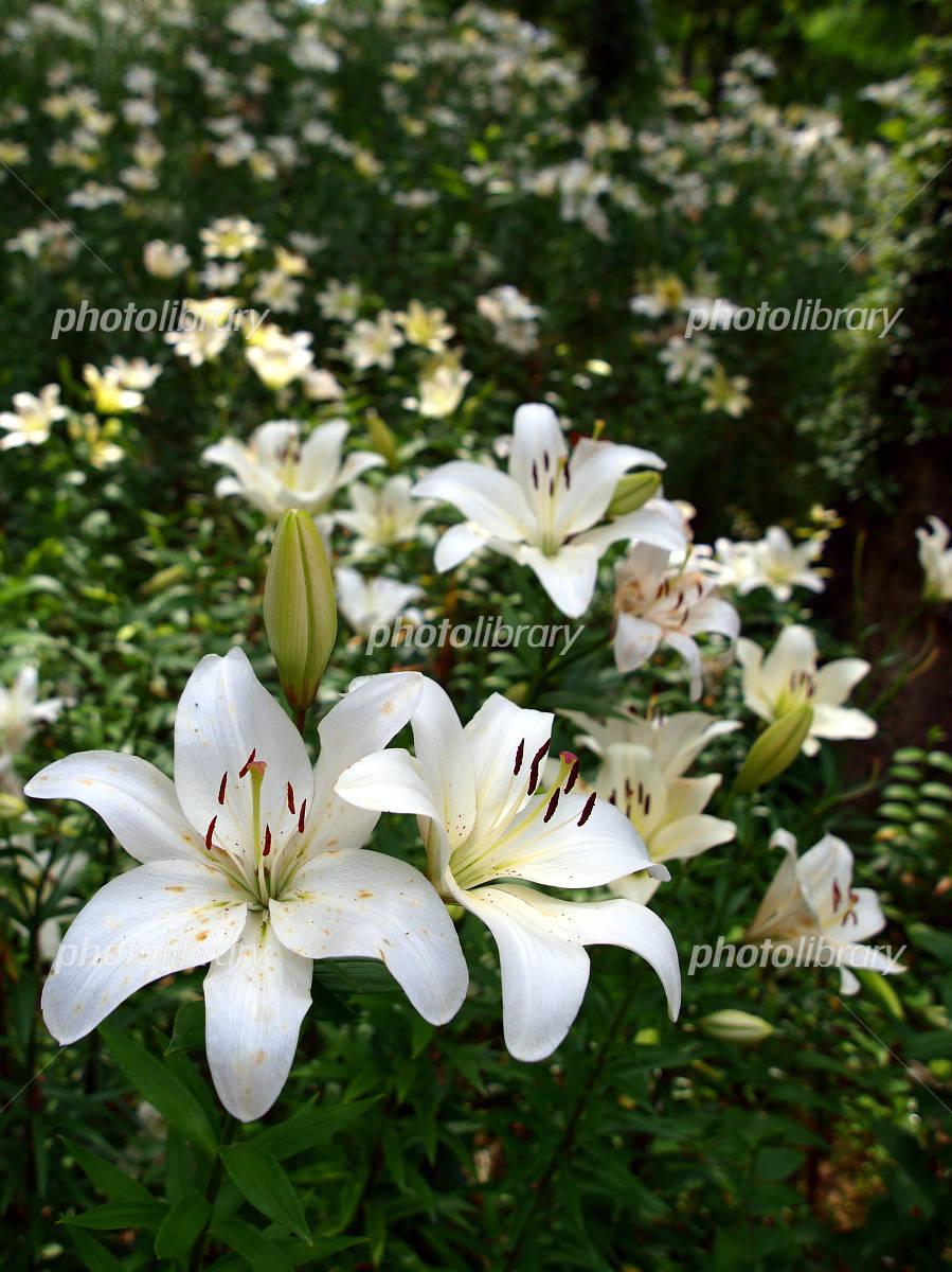 White Lily Photo
