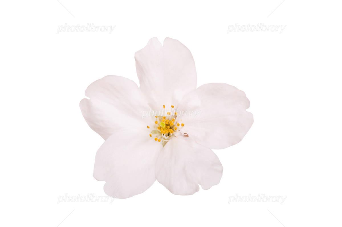 桜の花びら 写真素材 ...