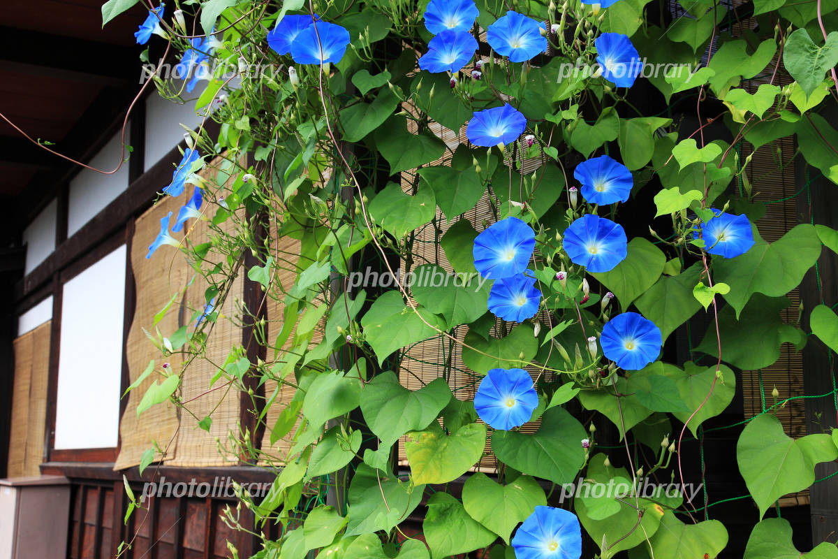 Kamisan'no the town of morning glory Photo