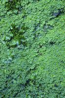 Marchantia polymorpha Stock photo [654025] MOSS.