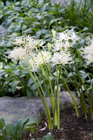 White amaryllis Stock photo [655582] White