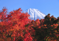 Crimson autumn leaves and Mount Fuji Stock photo [657354] Mt.