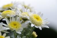 White chrysanthemum Stock photo [660439] Chrysanthemum