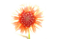 Dahlia Stock photo [663624] Flower
