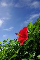 Hibiscus Stock photo [663888] Hibiscus