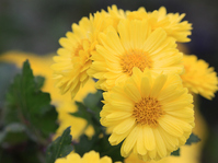 Chrysanthemum Stock photo [664493] Chrysanthemum