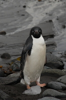 Adelie penguin Stock photo [666823] Antarctic