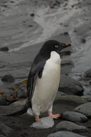 Adelie penguin Stock photo [666822] Gentoo