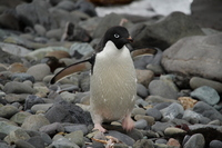 Adelie penguin Stock photo [666815] Gentoo