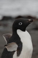 Adelie penguin Stock photo [666873] Antarctic