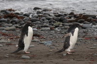 Adelie penguin Stock photo [666888] Antarctic
