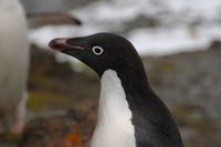 Adelie penguin Stock photo [666899] Antarctic