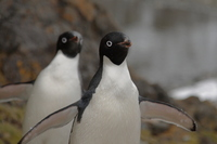 Adelie penguin Stock photo [666894] Antarctic