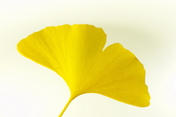 Ginkgo leaves Stock photo [669547] Ginkgo