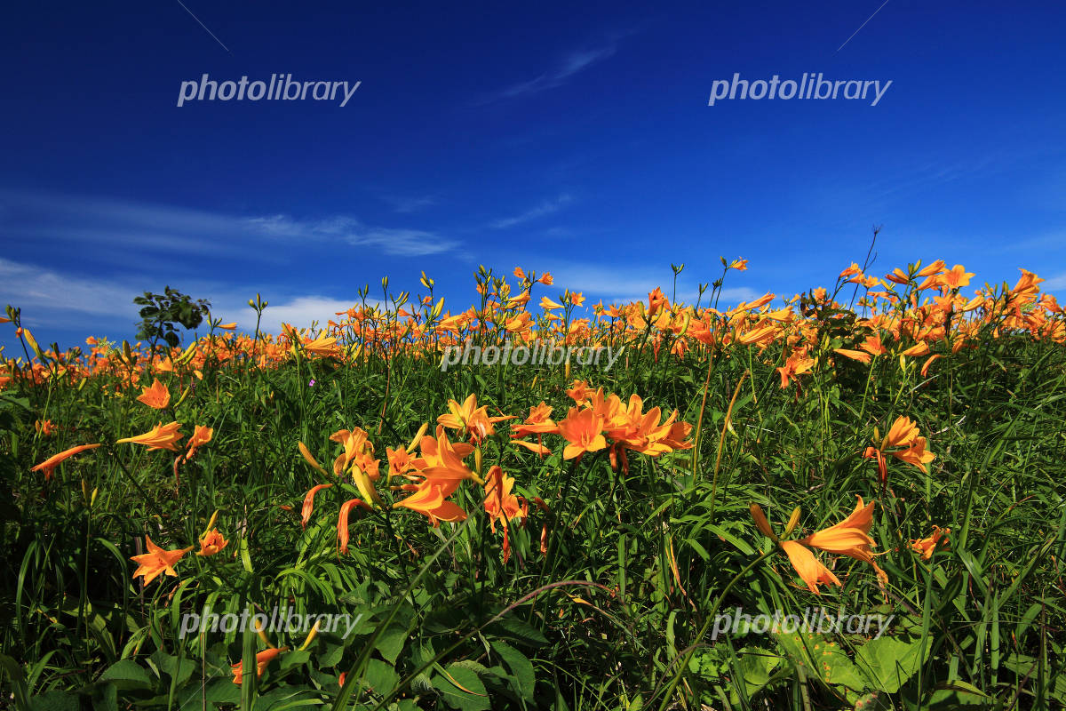 Blue sky and day lily Photo