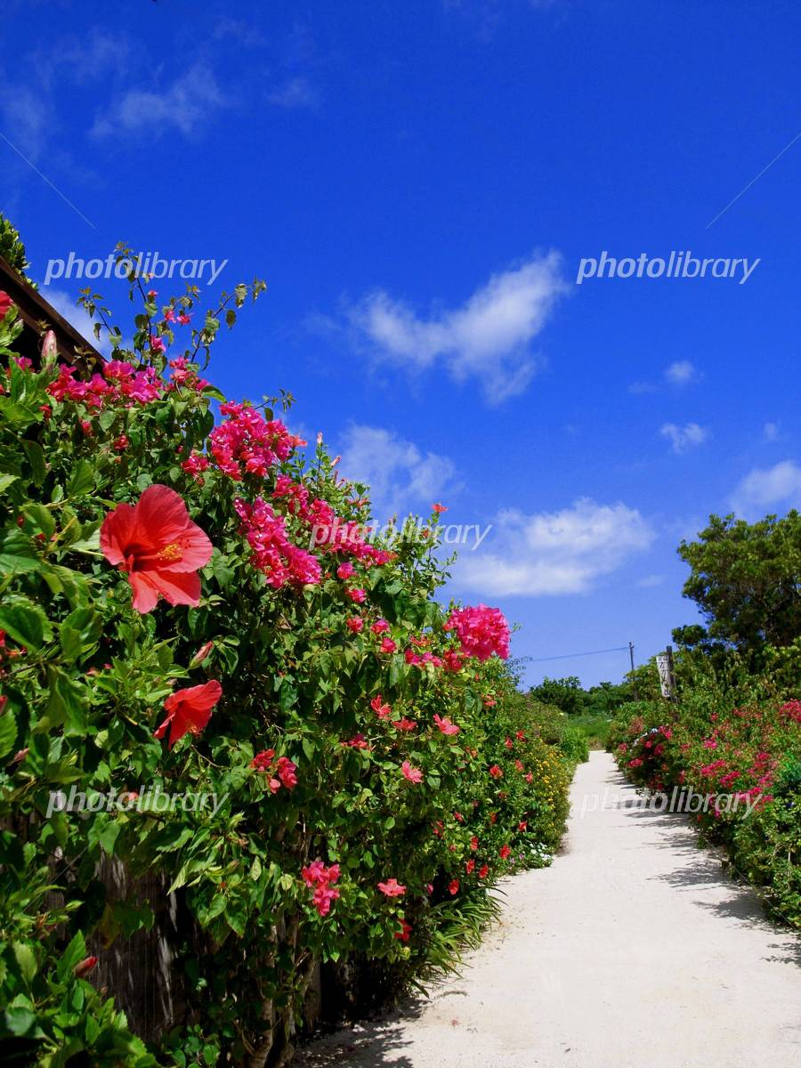 Road of Okinawa flower Photo