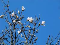Magnolia Stock photo [747794] Yulan