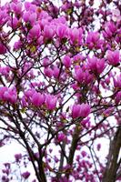Purple magnolia Stock photo [748676] Purple