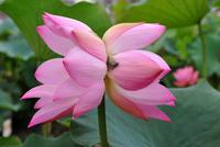 Double-headed lotus Stock photo [748800] Lotus