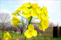 Rape blossoms Stock photo [750406] Rape
