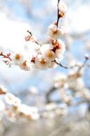 White plum Stock photo [751414] Spring