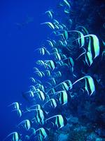 ツノダシの群れと鮫