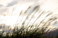 Japanese pampas grass Stock photo [753424] Japanese