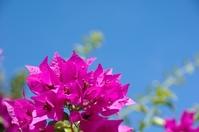 Blue sky and bougainvillea in Okinawa Stock photo [753573] Bougainvillea