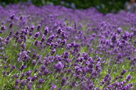 Lavender to fluttering in the wind Stock photo [754822] Lavender