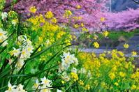 水仙と菜の花と河津桜