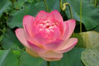 Lotus Stock photo [755751] Lotus
