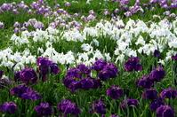 Kamo iris garden Stock photo [757508] IRIS